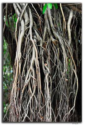 CN0457.Sanya.Banyan Tree