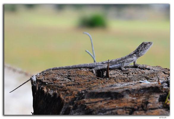 AU0624.Lizard