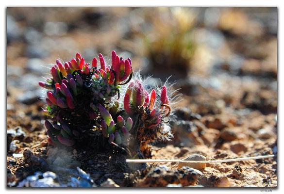 AU0933.Nullarbor N.P.Pflanze