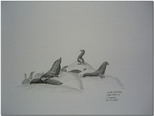 093.Skizze, Lobo marinos, Cabo Polonio /Uruguay