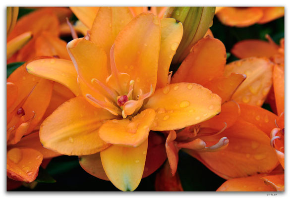 MO0036.Taipa.Blume im Garten