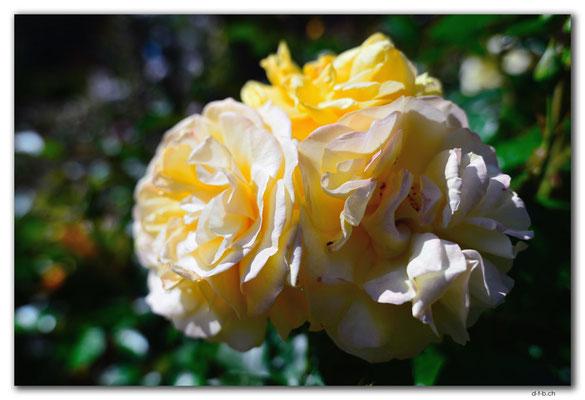 NZ0728.Christchurch.Botanical Garden.Rose