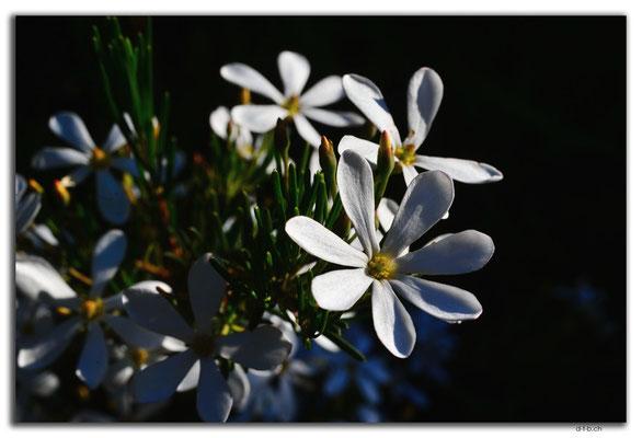 AU0523.White Wedding Bush