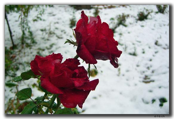 KZ0022.Shymkent.Rosen im Schnee