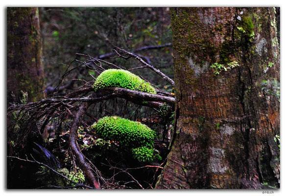 NZ0319.Kaimanawa Forest Park.Moss pads