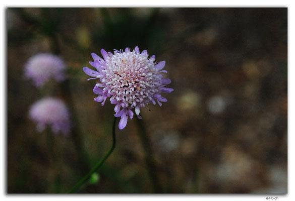 AU1009.Eyre Peninsula.Mount Hope.Blume