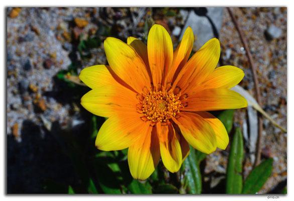 AU0558.Blume