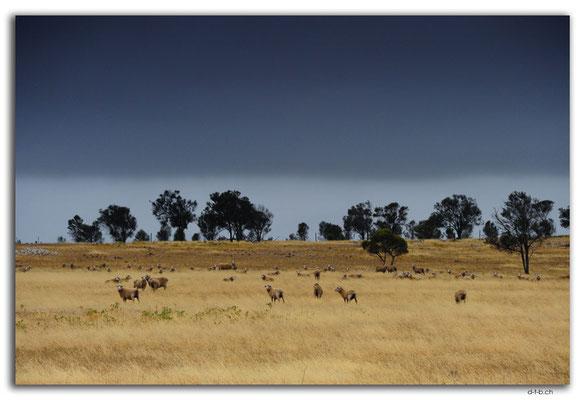 AU0987.Eyre Peninsula.Feld mit Schafen