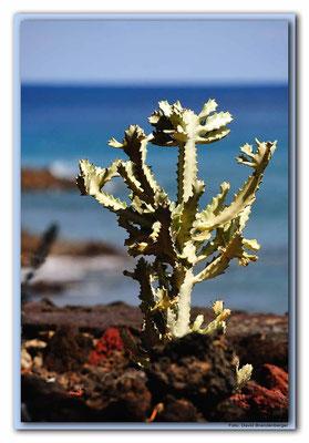 LAN105.Kaktus