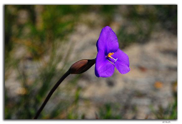 AU0431.Blume