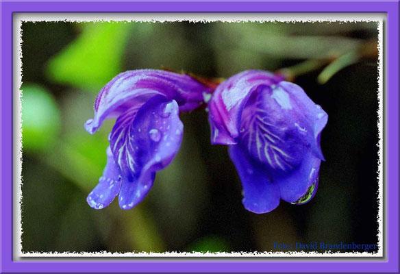 72.Inka Trail Blume,Peru
