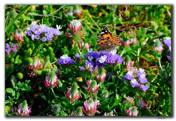 TR0606.Lampoussa.Schmetterling
