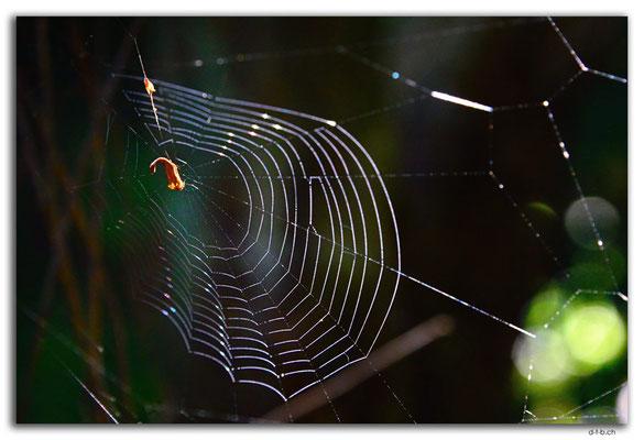 NZ0924.Curio Bay,Living Forest.Spiderweb