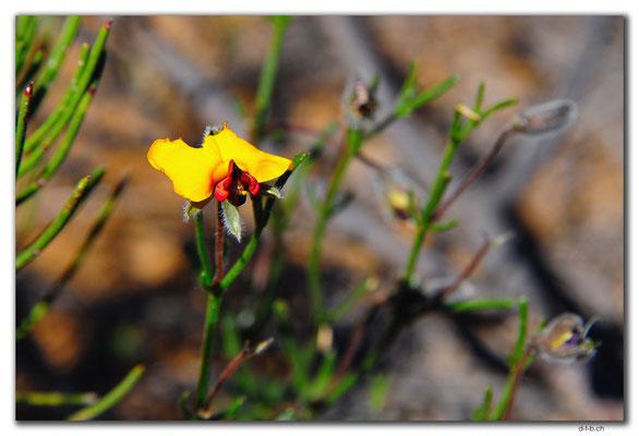 AU0429.Blume