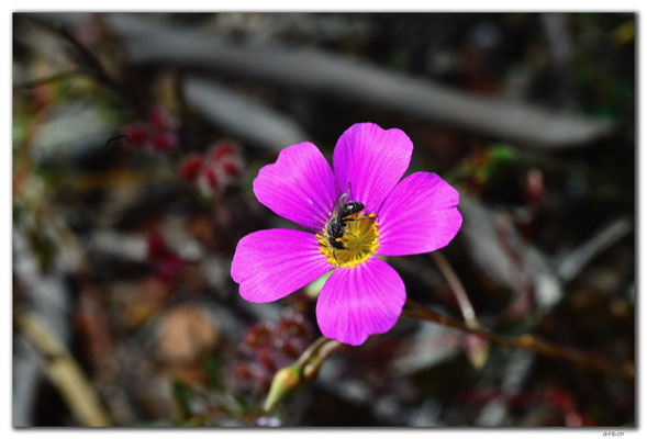 AU0436.Kalbarri N.P.Blume
