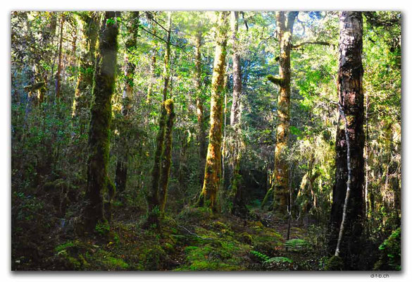 NZ0572.Anatoki Track.Forest in the morning