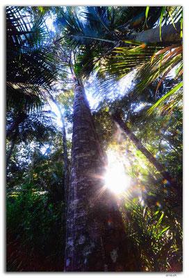 NZ0073.Waipoua, Kauri