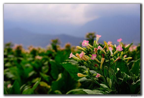 IR0329.Blüten