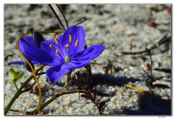 AU0542.Blume