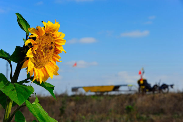 BG. Solatrike hinter Sonnenblume