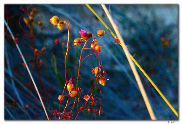 AU0532.Blume