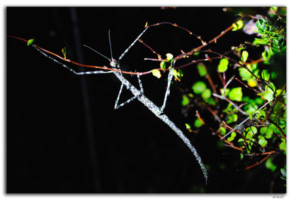 NZ0468.Wellington.Stick insect