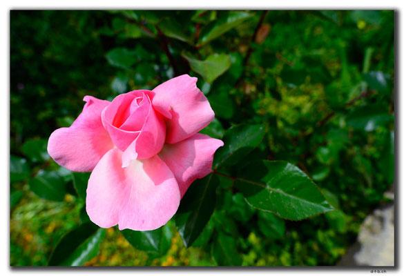 TR0525.Lefkosa.Rose