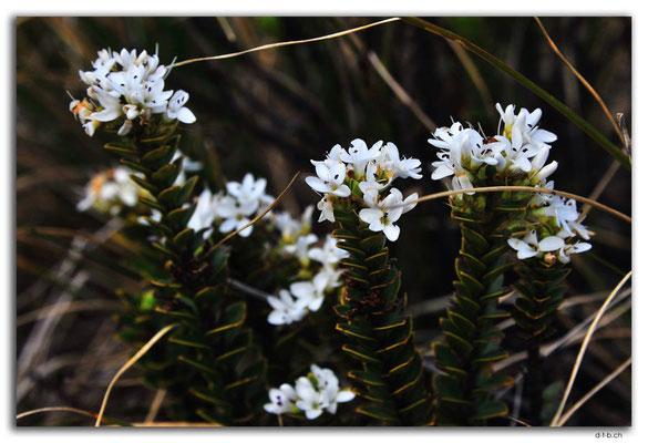 NZ0504.Kahurangi N.P.Flower at Sylvester Lake