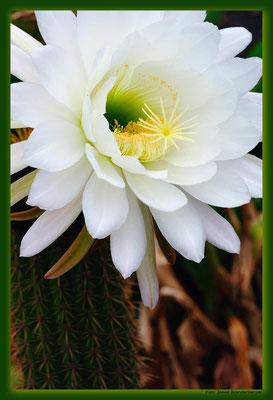 LAN079.Kaktusblüte