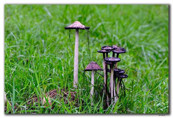 HU018.Pilze
