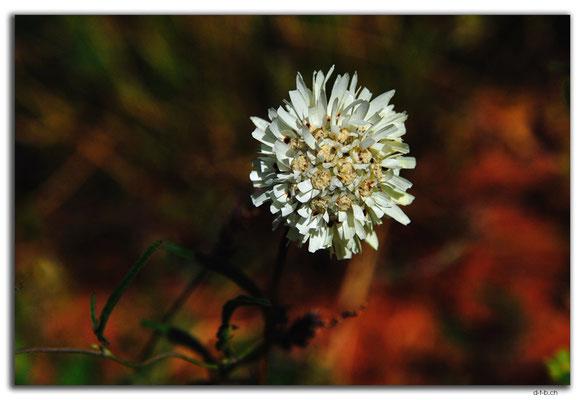 AU0390.Blume