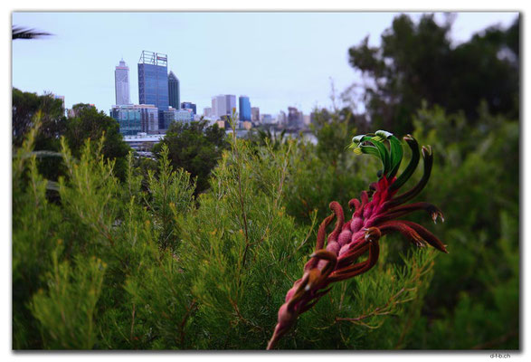 AU0699.Perth.City mit Kangaroo Paw