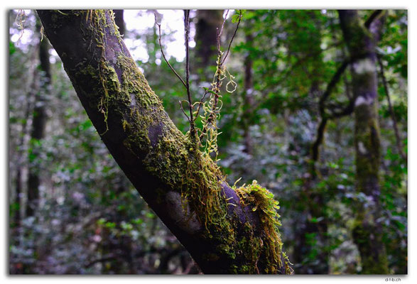 AU1440.Savage river.Forest