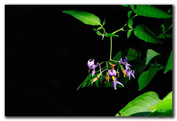 PL222.Biebrza NP. Blume