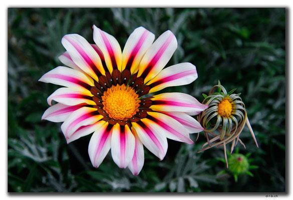 TR0519.Lefkosa.Blume