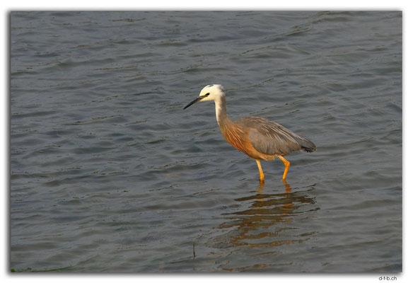 NZ0485.Motueka Sandspit.Egret (White faced Heron)