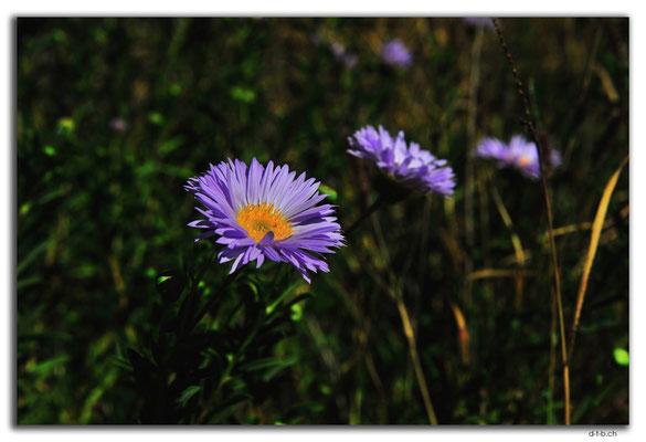 AU0372.Blume