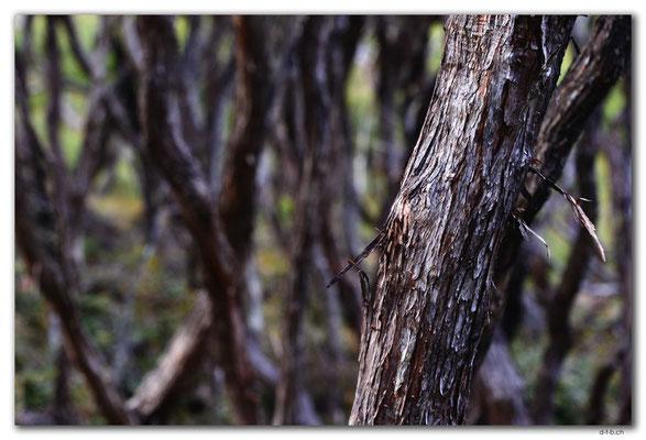 NZ0880.Stewart Island.Rakiura Track.Coastal Trees