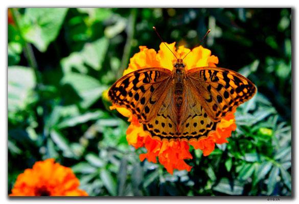 IR0041.Tehran.Schmetterling