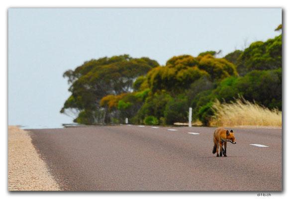 AU0985.Eyre Peninsula.Fuchs