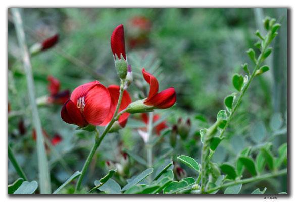 CN0154.Blume
