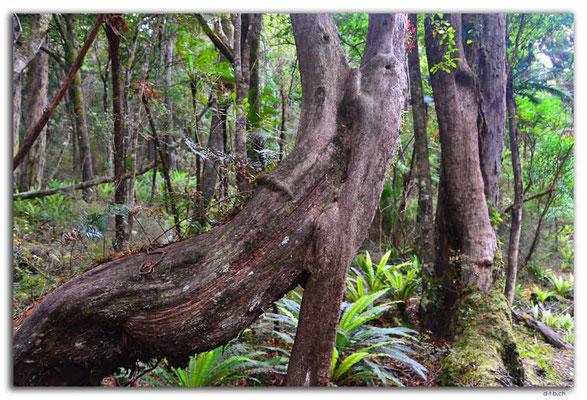 NZ0878.Stewart Island.Rakiura Track.Tree