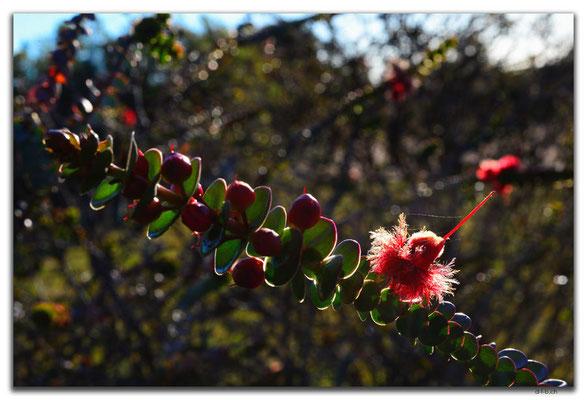 AU0527.Scarlet Feather Flower