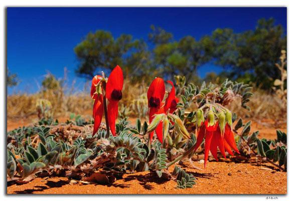 AU0298.Sturt's Desert Pea