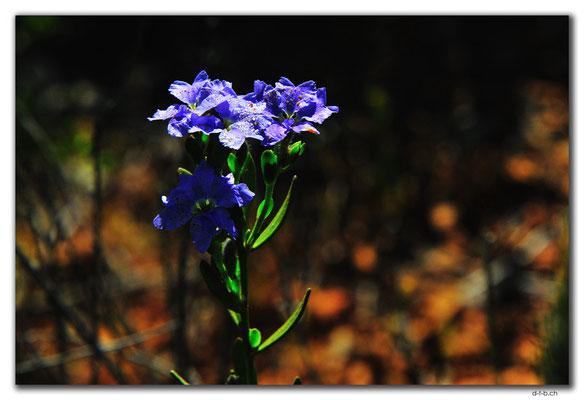 AU0626.Blume