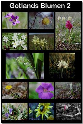 Gotland Blumen 2 / Gotland flowers 2