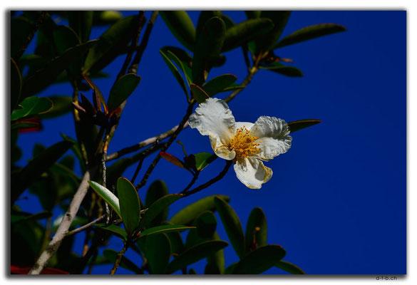HK0093.Lamma Island.Blüte