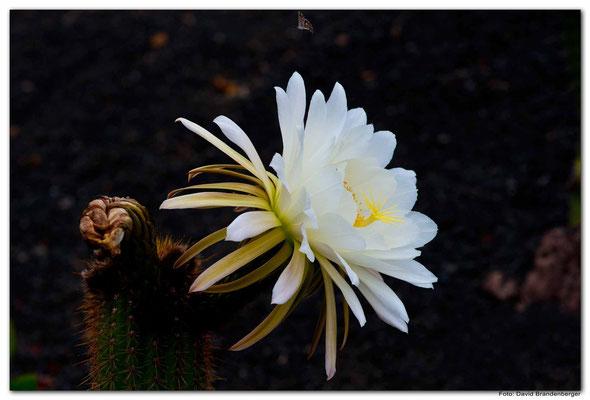 LAN077.Kaktusblüte