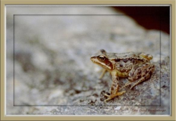 A0075 Frosch,Schottland.GB