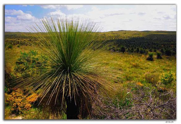 AU0605.Wanagarren N.R. Grass Tree